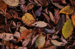 Turning yellow abscissed leaves Stock Photos