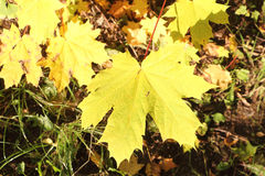 The turning yellow leaf of a maple in the fall Royalty Free Stock Image