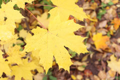 The turning yellow leaf of a maple in the fall Stock Photos
