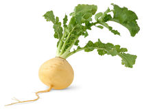 Turnip. Isolated turnip. Fresh yellow turnip with big leaves isolated over white background Stock Image