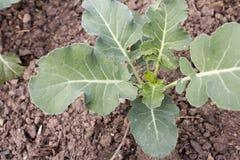 Turnip cabbage Brassica oleracea var. gongylodes Royalty Free Stock Photos