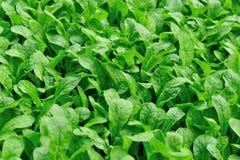 Turnip field Royalty Free Stock Image