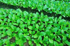 Turnip field. Closeup of green turnips at field Royalty Free Stock Image