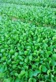 Turnip field. Closeup of green turnips at field Royalty Free Stock Photos