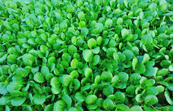 Turnip field. Closeup of green turnips at field Royalty Free Stock Photography