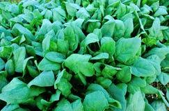 Turnip field. Closeup of green turnips at field Stock Image