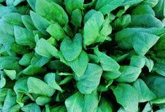Turnip field. Closeup of green turnips at field Stock Photo