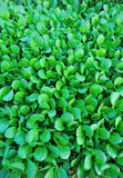 Turnip field. Closeup of green turnips at field Royalty Free Stock Photo
