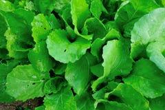 Turnip field. Closeup of green turnips at field Stock Photography