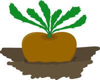Turnip growing in garden - vector illustration Stock Image