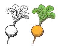 Turnip illustration Royalty Free Stock Images