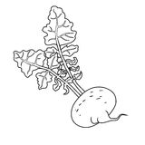 Turnip with leaves, Line vector illustration. Royalty Free Stock Image