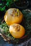Turnip. Pair of ripe and delicious yellow turnip on the green garden Stock Images