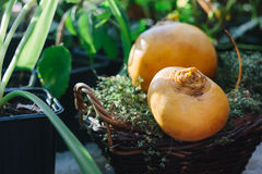 Turnip. Pair of ripe and delicious yellow turnip on the green garden Stock Photo