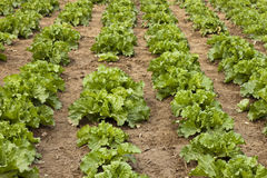 Turnip plants. Rows of turnip plants in a field Stock Images
