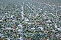 Turnip plants as green manure on a wintry field Royalty Free Stock Photos