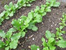 Turnip rape in garden Royalty Free Stock Photos