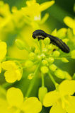 Turnip sawfly caterpillar Stock Photo