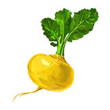 Turnip vector illustration  hand drawn  painted Royalty Free Stock Images