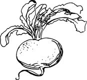 Turnip. Vector illustration Stock Photography