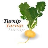 Turnip vegetable  Royalty Free Stock Image