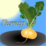 Turnip vegetable vector Royalty Free Stock Photo