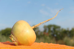 Turnip Stock Photography