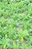 Turnips Royalty Free Stock Photography