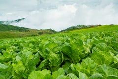 Turnips Farm Stock Photo
