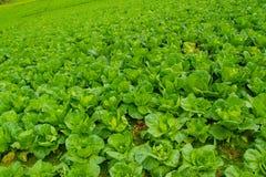 Turnips Farm Royalty Free Stock Image