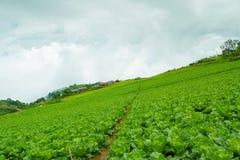 Turnips Farm royalty free stock photo
