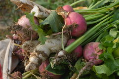 Turnips and radishes Royalty Free Stock Image