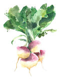 Turnips vegetables bunch watercolor painting illustration isolated on white background Royalty Free Stock Images