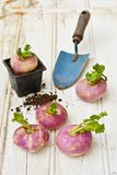 Turnips on wooden table with a mini shovel Stock Photo