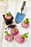 Turnips on wooden table with a mini shovel Stock Photography