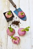 Turnips on wooden table with a mini shovel Stock Images