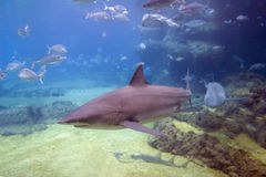 TurnShark. Grey Reef Sharks (Carcharhinus amblyrhynchos) swimming over reef Royalty Free Stock Images