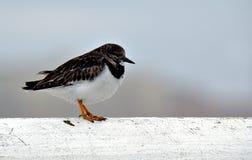 turnstone πουλιών Στοκ φωτογραφίες με δικαίωμα ελεύθερης χρήσης