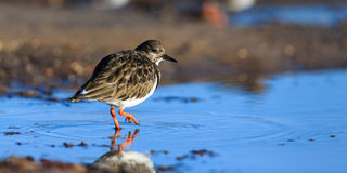 turnstone Fotos de Stock Royalty Free