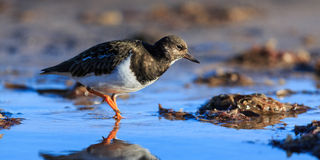 turnstone Immagine Stock