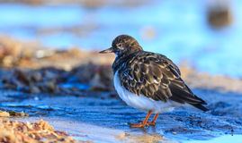 turnstone Foto de Stock