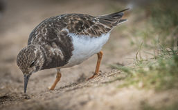 turnstone Foto de Stock Royalty Free