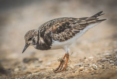 turnstone Fotos de Stock