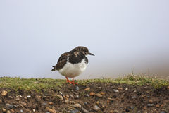 Turnstone Stock Photography