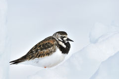 Turnstone  adult in summer plumage. Turnstone (Arenaria interpres), adult in summer plumage, sitting on ice, Baffin bay, Nunavut, Canada Royalty Free Stock Photo