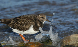 A Turnstone Arenaria interpres searching around the shoreline for food and getting splashed by a wave. Stock Image