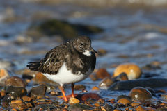 Turnstone Arenaria interpres searching around the shoreline for food. Royalty Free Stock Image