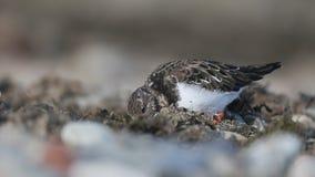 Turnstone, Arenaria interpres,. Single bird on beach, Gwynedd, Wales November 2016 stock footage