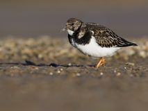 Turnstone, Arenaria interpres Royalty Free Stock Images