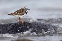 Turnstone, Arenaria interpres Stock Images